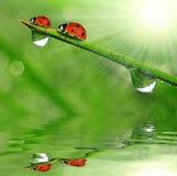 Dew and ladybird Stock Photo