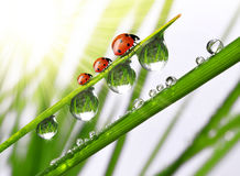 Dew and ladybird. Fresh morning dew and ladybird Royalty Free Stock Images