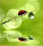 Fresh morning dew and ladybird. Ladybird on the grass with water drops Royalty Free Stock Photo