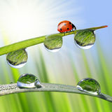 Fresh morning dew and ladybird. Stock Images
