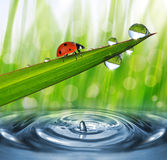 Fresh morning dew and ladybird. Royalty Free Stock Photos