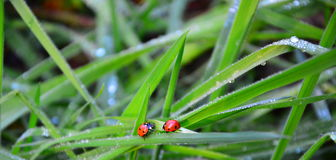 Fresh morning dew and ladybird. Fresh morning dew on a spring grass and little ladybugs Stock Photo