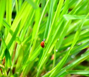 Fresh morning dew and ladybird Stock Photography