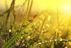 Fresh morning dew and ladybird Stock Image