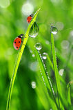 Fresh morning dew and ladybirds Royalty Free Stock Photos