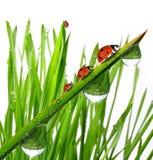 Dew and ladybug. Fresh morning dew and ladybug Royalty Free Stock Photo