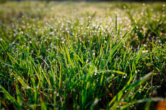 Free Fresh Morning Dew On Spring Grass, Natural Background - Close Up Royalty Free Stock Image - 88216596
