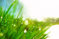 Free Fresh Morning Dew On Spring Green Grass In Sunlight Royalty Free Stock Images - 172132279