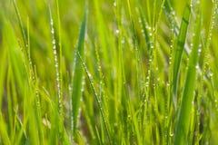 Fresh morning dew on spring grass. Stock Image