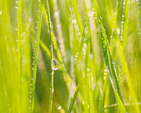 Fresh morning dew on spring grass. Stock Images