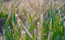 Fresh morning dew on spring grass. Stock Photography