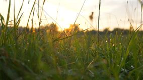 Fresh morning grass with dew in the sunrise slow motion. Slow motion fresh morning grass with dew in the sunrise camera movement stock footage