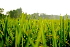 Fresh morning ricefield. Morning bright with beautiful ricefield Stock Photo