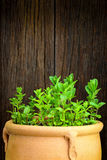 Fresh Moroccan mint herb on a pot Royalty Free Stock Photos
