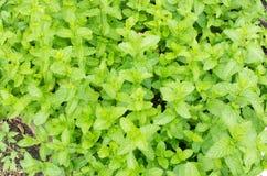 Fresh Morrocan mint Stock Image