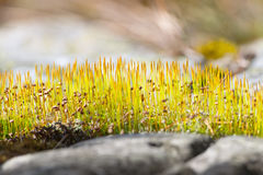 Fresh moss with buds at spring time Stock Photo