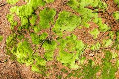 Fresh moss Royalty Free Stock Images