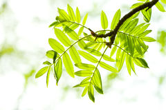 Fresh mountain ash leaves in forest Stock Photo