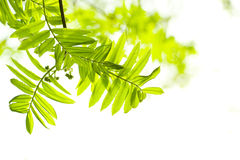 Fresh mountain ash leaves in forest Stock Images