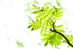 Free Fresh Mountain Ash Leaves In Forest Royalty Free Stock Images - 5085029