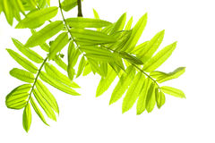 Free Fresh Mountain Ash Leaves In Forest Royalty Free Stock Image - 5085036