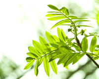 Free Fresh Mountain Ash Leaves In Forest Stock Photos - 5115443