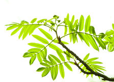 Free Fresh Mountain Ash Leaves In Forest Royalty Free Stock Images - 5179189