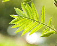 Free Fresh Mountain Ash Leaves In Forest Royalty Free Stock Images - 5301309