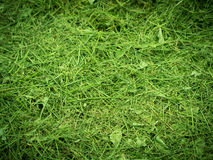 Fresh mowed grass. Stock Image
