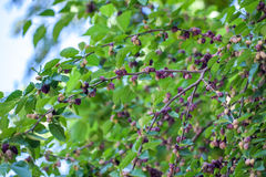 Fresh mulberry berries on tree, mulberry tree.  stock images