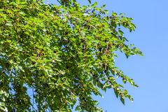 Fresh mulberry berries on tree, mulberry tree.  stock photos