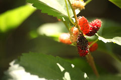 Fresh mulberry black ripe and red unripe mulberries on the branch. Stock Images