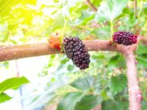 Fresh mulberry black ripe and red unripe mulberries on the branch of tree royalty free stock image