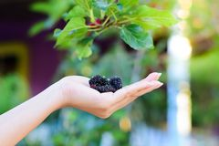 Fresh Mulberry fruits on hand, Mulberry with very useful for the treatment and protect of various diseases. Fresh Mulberry fruits on hand, Mulberry with very stock photo