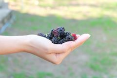 Fresh Mulberry fruits on hand, Mulberry with very useful for the treatment and protect of various diseases. Organic fresh, ripe. Fruit royalty free stock photo