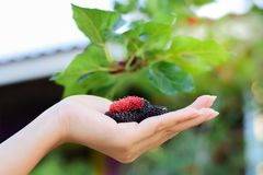 Fresh Mulberry fruits on hand, Mulberry with very useful for the treatment and protect of various diseases. Fresh Mulberry fruits on hand, Mulberry with very royalty free stock photo