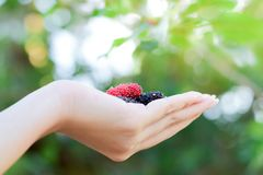 Fresh Mulberry fruits on hand, Mulberry with very useful for the treatment and protect of various diseases. Fresh Mulberry fruits on hand, Mulberry with very stock photos