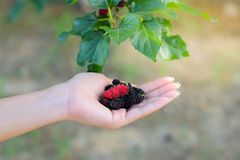 Fresh Mulberry fruits on hand, Mulberry with very useful for the treatment and protect of various diseases, Organic fresh. Fresh Mulberry fruits on hand royalty free stock photography