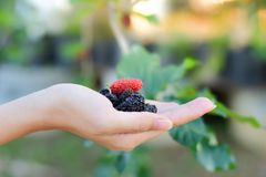 Fresh Mulberry fruits on hand, Mulberry with very useful for the treatment and protect of various diseases, Organic fresh. Fresh Mulberry fruits on hand royalty free stock images
