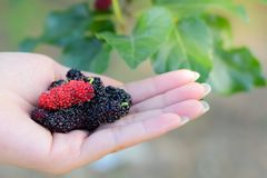 Fresh Mulberry fruits on hand, Mulberry with very useful for the treatment and protect of various diseases, Organic fresh. Fresh Mulberry fruits on hand stock image