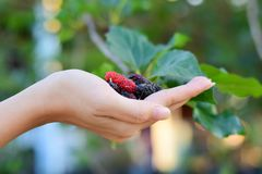 Fresh Mulberry fruits on hand, Mulberry with very useful for the treatment and protect of various diseases, Organic fresh. Fresh Mulberry fruits on hand stock photo