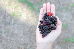 Fresh Mulberry fruits on hand, Mulberry with very useful for the treatment and protect of various diseases. Organic fresh, ripe. Fruit royalty free stock images