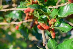 Fresh Mulberry fruits on tree, Mulberry with very useful for the treatment and protect of various diseases, Organic fresh,. Ripe fruit royalty free stock photos