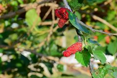 Fresh Mulberry fruits on tree, ..Mulberry with very useful for the treatment and protect of various diseases. ..Organic fresh,. Ripe fruit stock image