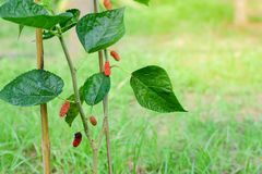 Fresh Mulberry fruits on tree, Mulberry with very useful for the treatment and protect of various diseases. Fresh Mulberry fruits on tree, Mulberry with very stock image