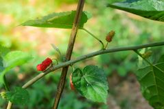 Fresh Mulberry fruits on tree, ..Mulberry with very useful for the treatment and protect of various diseases. Organic fresh, ripe fruit royalty free stock image
