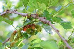 Fresh Mulberry fruits on tree, Mulberry with very useful for the treatment and protect of various diseases. ..Organic fresh,. Fresh Mulberry fruits on tree stock photo