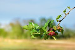 Fresh Mulberry fruits on tree, ..Mulberry with very useful for the treatment and protect of various diseases. ..Organic fresh,. Ripe fruit stock photos