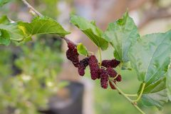 Fresh Mulberry fruits on tree, ..Mulberry with very useful for the treatment and protect of various diseases. ..Organic fresh,. Fresh Mulberry fruits on tree royalty free stock images