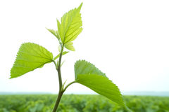 Fresh mulberry leaves Stock Images